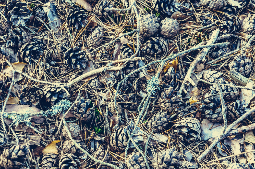 Natural pattern background of pine cones, twigs, conifer needles, withered leaves. Close view.