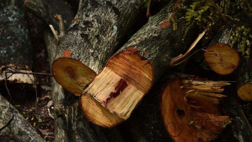 Fresh cut fire logs