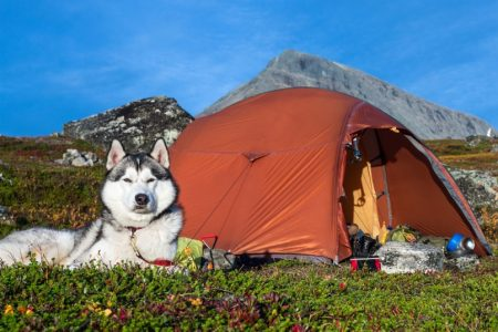 husky-dog-in-front-of-a-tent-camping-1024x538 (1)